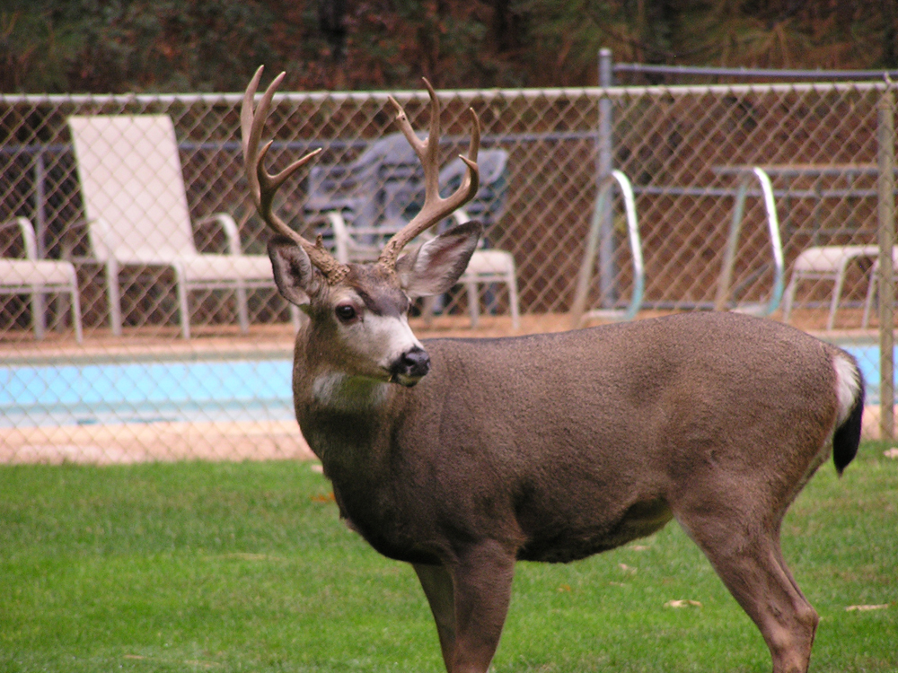 Nice buck Nevada City campground